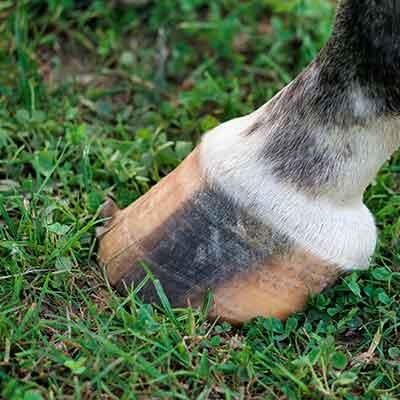 Cura dello zoccolo - Selleria Faggin